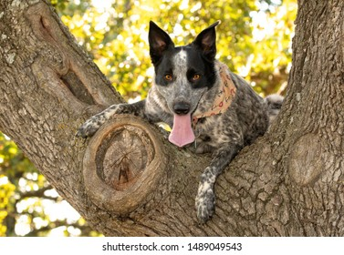 Black and white spotted Texas Heeler high up in a tree, keenly looking straight at the viewer