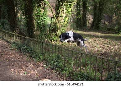 Black and white springer spaniel jumping over a metal fence