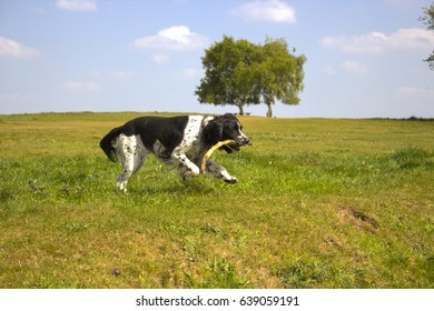Black and white springer spaniel preparing to jump over a grass ditch holding a stick in his mouth