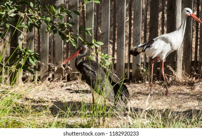 Black and white stork at Los Hornos Recovery Center of Wildlife, Caceres, Spain