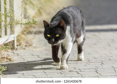 Black and white street cat walking down the sidewalk