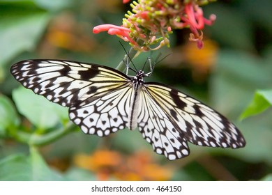 Black and white striped butterfly with wings spread