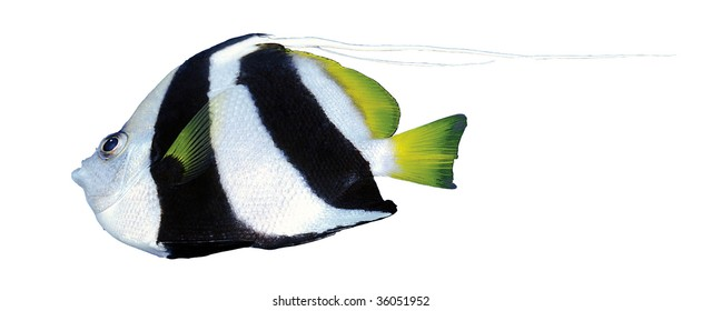 Black and white striped fish isolated on white background