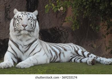 Black and White Striped Tiger