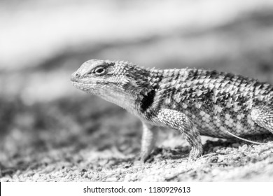 Black and white study of a female desert spiny lizard, a native of the Sonoran desert in the American southwest. Found in Pima county, Tucson, Arizona. Summer 2018.