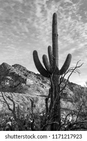 Black and white study of a saguaro cactus with dead tree branches, mountains and small clouds above in the desert sky. Tucson, Arizona. Spring 2018.