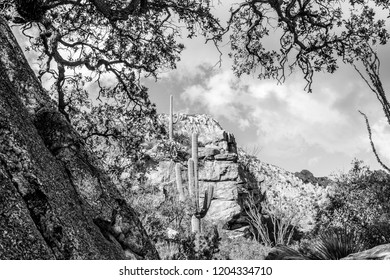 Black and white study of a saguaro cactus along the Pima Canyon Trail in the Catalina Mountains north of Tucson, Arizona. Sonoran Desert plant life, oak tree branches, ocotillo and rocky cliffs. 2018