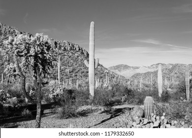 Black and white study of the Sonoran desert landscape with a variety of cactus such as saguaro, cholla, prickly pear, barrel and other cacti. Photo taken in Pima county outside of Tucson, Arizona 2018