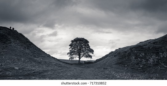 Black and white Sycamore Gap with Hadrian's Wall in Uk.