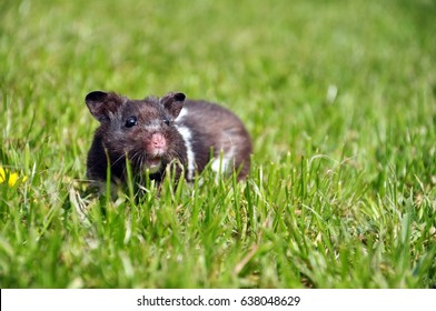 Black and white syrian hamster on grass