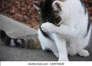 Black and white tabby cat sits on a sidewalk and covers his face with his paw.