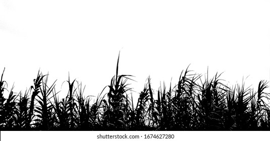 Black and white tall grass silhouette background. Grass silhouette against white background. Black and white abstract background. Black grass silhouette isolated on white background.