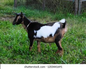 Black white tan Nigerian dwarf goat in grass