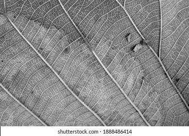 black and white Teak leaf close up