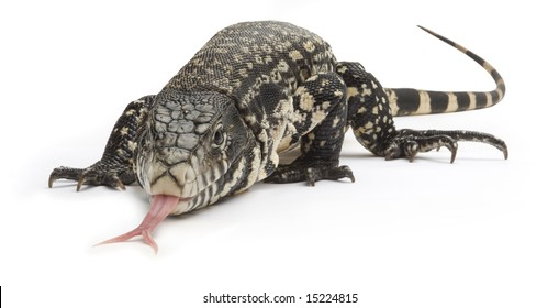 Black and white Tegu lizard on a white background
