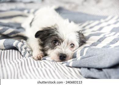 Black and White Terrier Mix Dog Relaxing on Owner's Bed