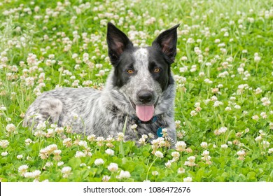 Black and white Texas Heeler dog lying in a sunny patch of clover, looking at the viewer
