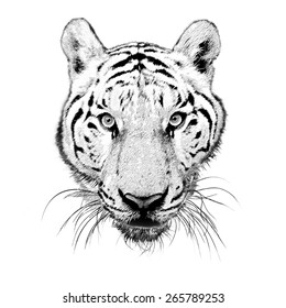Black and White Tiger face with eyes looking camera isolated from photo on white background.