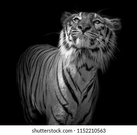 Black and white Tiger portrait in front of black background
