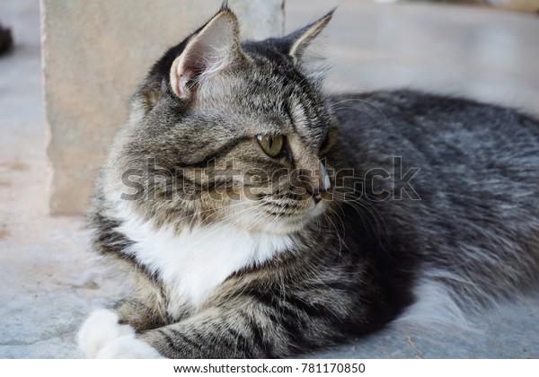 Black White Tiger Striped Cat Lying Stock Photo Edit Now 781170850