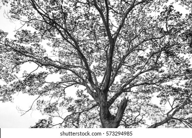 black and white tree.