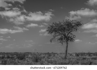Black and white tree in Kalahari