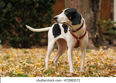 Black and white treeing walker coon hound dog is waiting