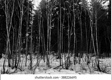 Black and white trees in snow. Landscape with aspen, spruce.