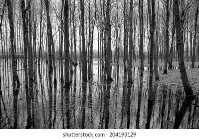 Black and white trees. There are so many lines of the trees and reflection in the water that it becomes an organized chaos