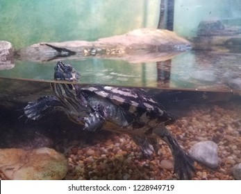 black and white turtle floating in an aquarium or tank