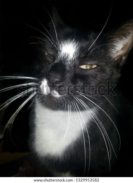 black and white tuxedo cat up close with white bib