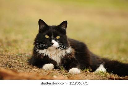 Black and white Tuxedo cat outdoor portrait lying down on ground