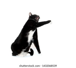 Black and white tuxedo cat swining its paw isolated on white background