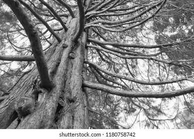 Black and White under giant oak tree, natural abstract background