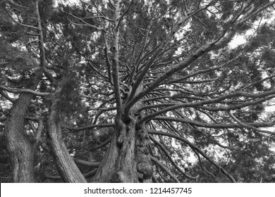 Black and White, Under giant oak tree close up, natural background