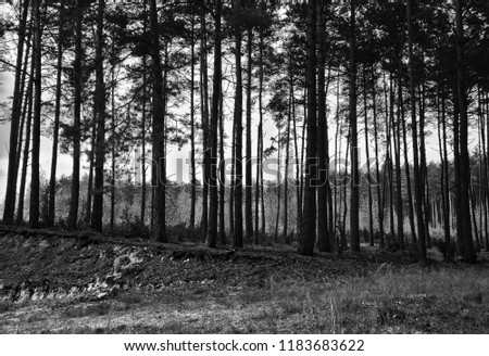 Black White Vertical Pine Trees Forest Stock Photo Edit Now