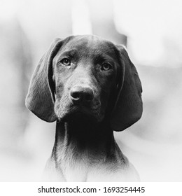 black and white vignetted portrait of a German Shorthaired Pointer puppy