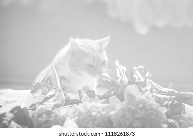 black and white vintage style red cat sniff peonies/ sunlight