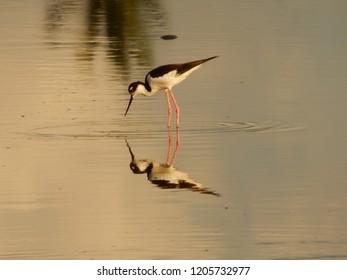 Black and White Wading Bird