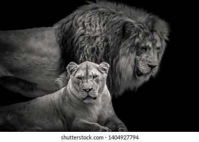 Imágenes Fotos De Stock Y Vectores Sobre Lion Head On Black
