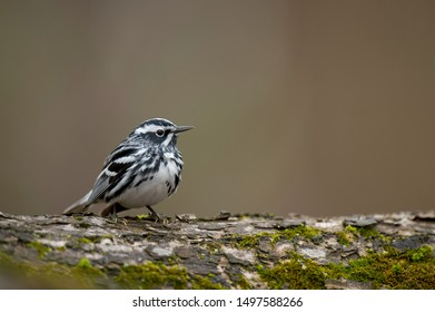 Black and White Warbler perched on a tree with green moss in soft overcast light with a smooth brown background.