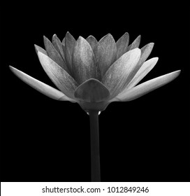 Black & white water-lily isolated on white