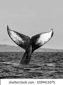 Black and White Whale Tail Close Up Diving Into Sea