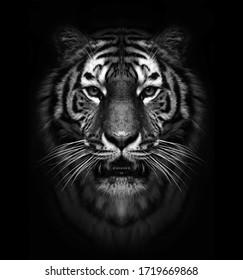 black and white wild tiger head