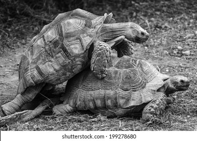 Black and White Wildlife: Tortoises making love