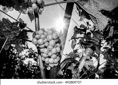 Black and white wine grapes in vineyard on a sunny day in autumn harvest