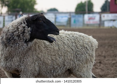 Black and White Wool Sheep with Open Mouth and Tounge