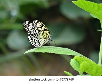 black white and yellow tree nymph rice paper kite butterfly asian butterfly sitting on a green leaf