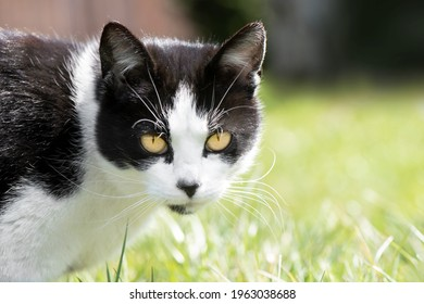 Black and white young cat with clear yellow eyes is wallking in the garden.