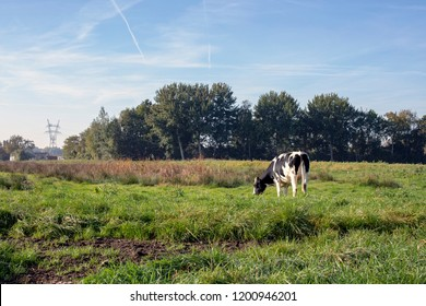 Black and white young cow, heifer, breed of cattle MRIJ with tiny udders, in the Netherlands standing a meadow, pasture, with at the background trees and a blue sky with contrails.